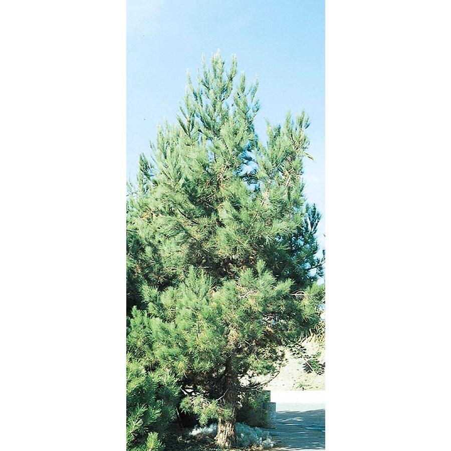 10.25-Gallon Eldarica Pine Feature Tree (L5148)