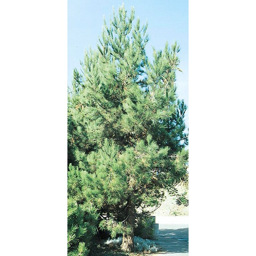 3.25-Gallon Eldarica Pine Feature Tree (L5148)