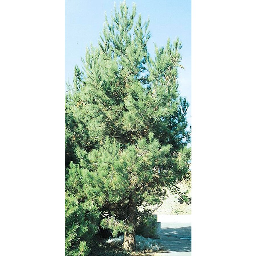 2.5-Quart Eldarica Pine Feature Tree (L5148)