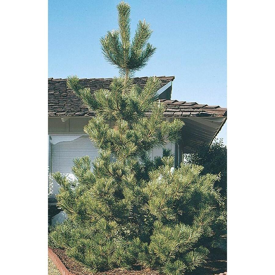2.5-Quart Japanese Black Pine Feature Tree (L1060)