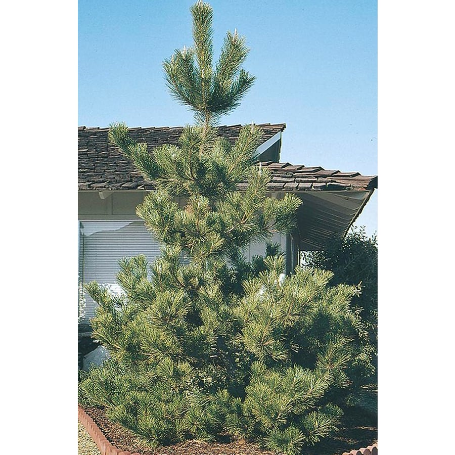 10.25-Gallon Japanese Black Pine Feature Tree (L1060)