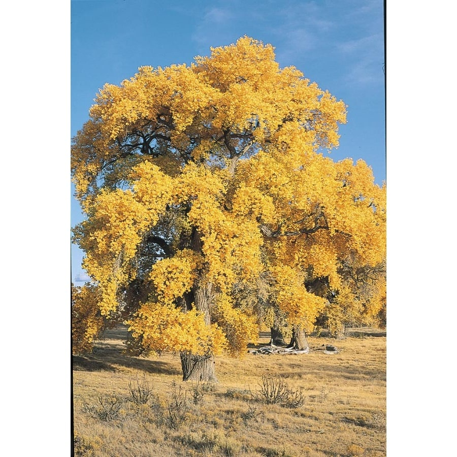 3.25-Gallon Western Cottonwood Shade Tree (L6130)