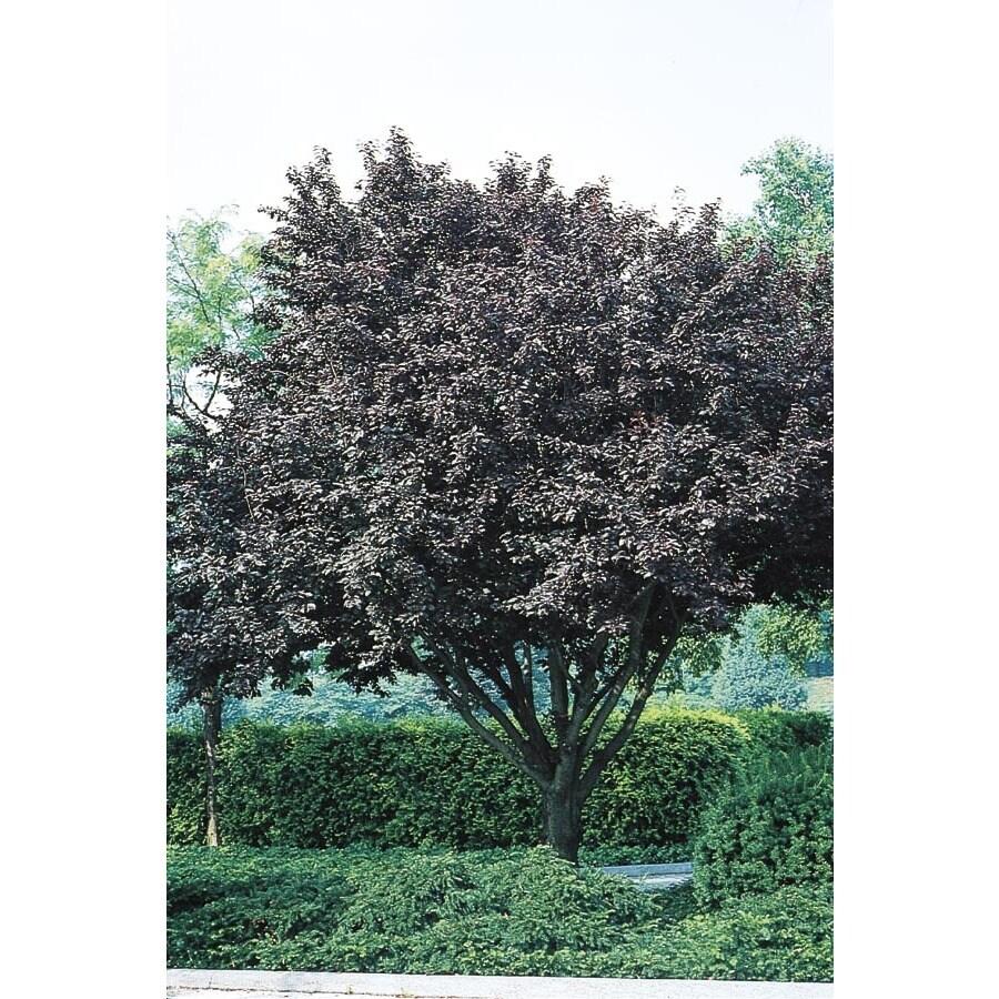 3.25-Gallon Flowering Plum Flowering Tree (L5986)