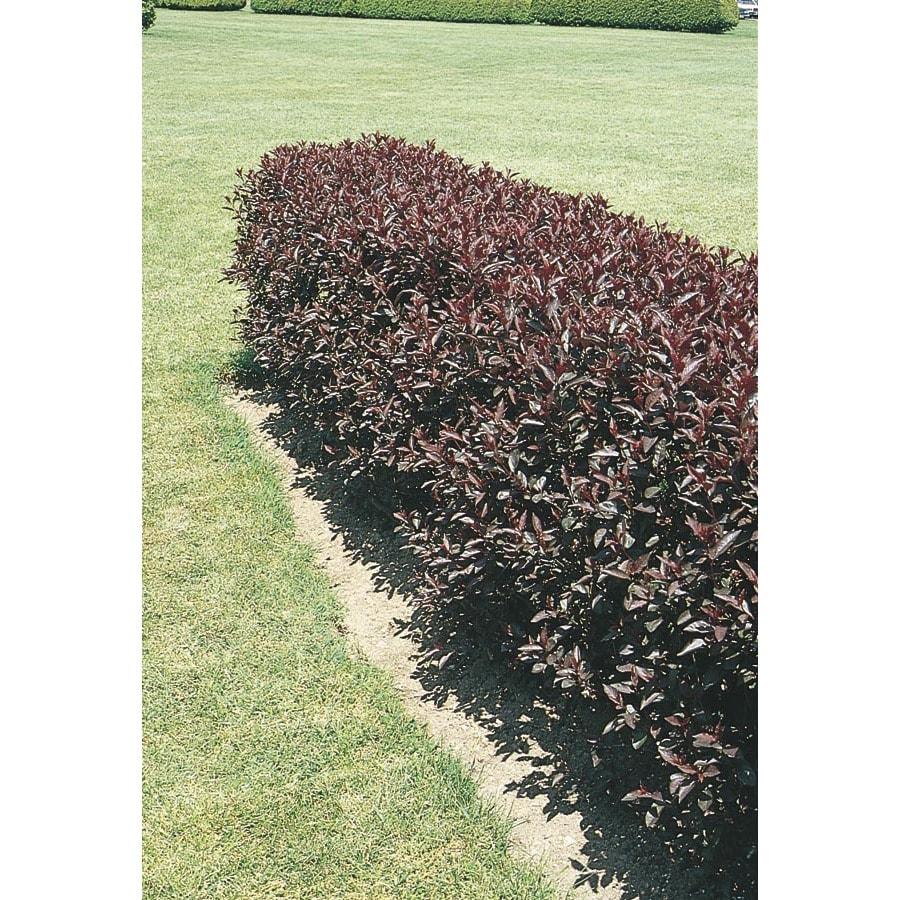 Mixed Purpleleaf Sand Cherry Bush Feature Shrub (L6340)