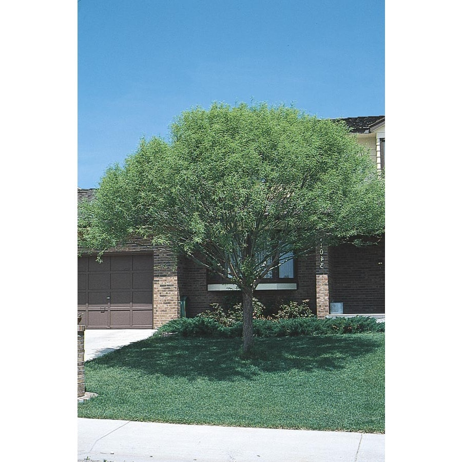 10.25-Gallon Globe Willow Shade Tree (L1412)