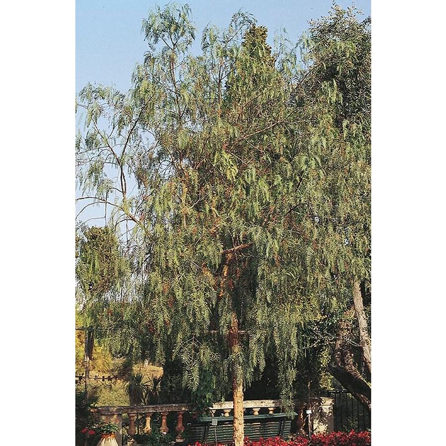 10.25-Gallon California Pepper Shade Tree (L9429)