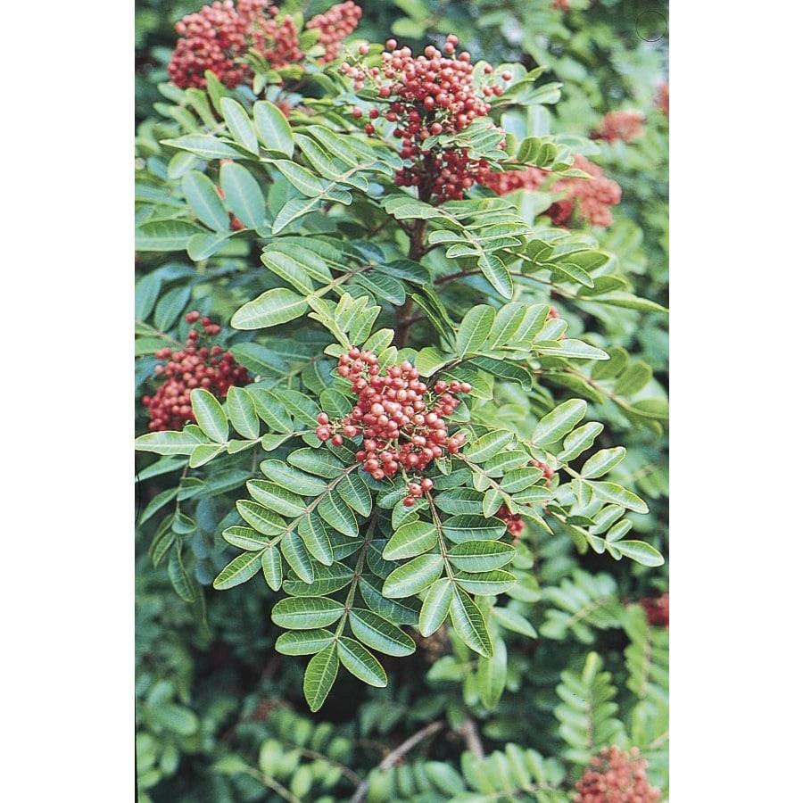 3.25-Gallon Brazilian Pepper Shade Tree (L9430)