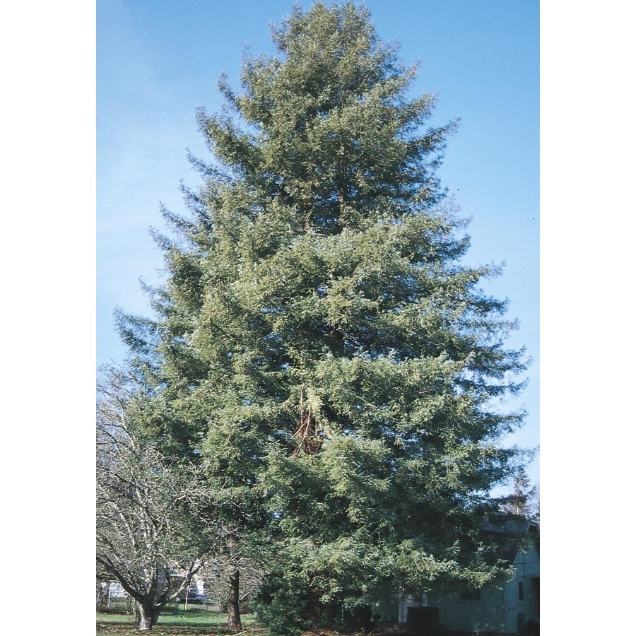 10.25-Gallon Coast Redwood Feature Tree (L23063)