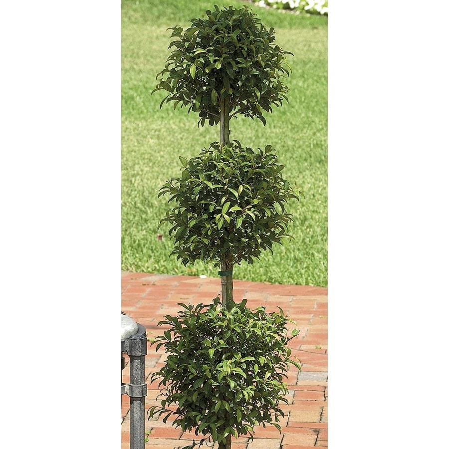 White Eugenia Topiary Shrub (L20938HP)