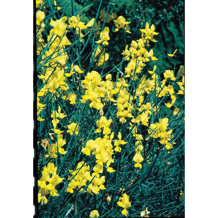Shop 325 gallon yellow spanish broom flowering shrub l5956 at 325 gallon yellow spanish broom flowering shrub l5956 mightylinksfo