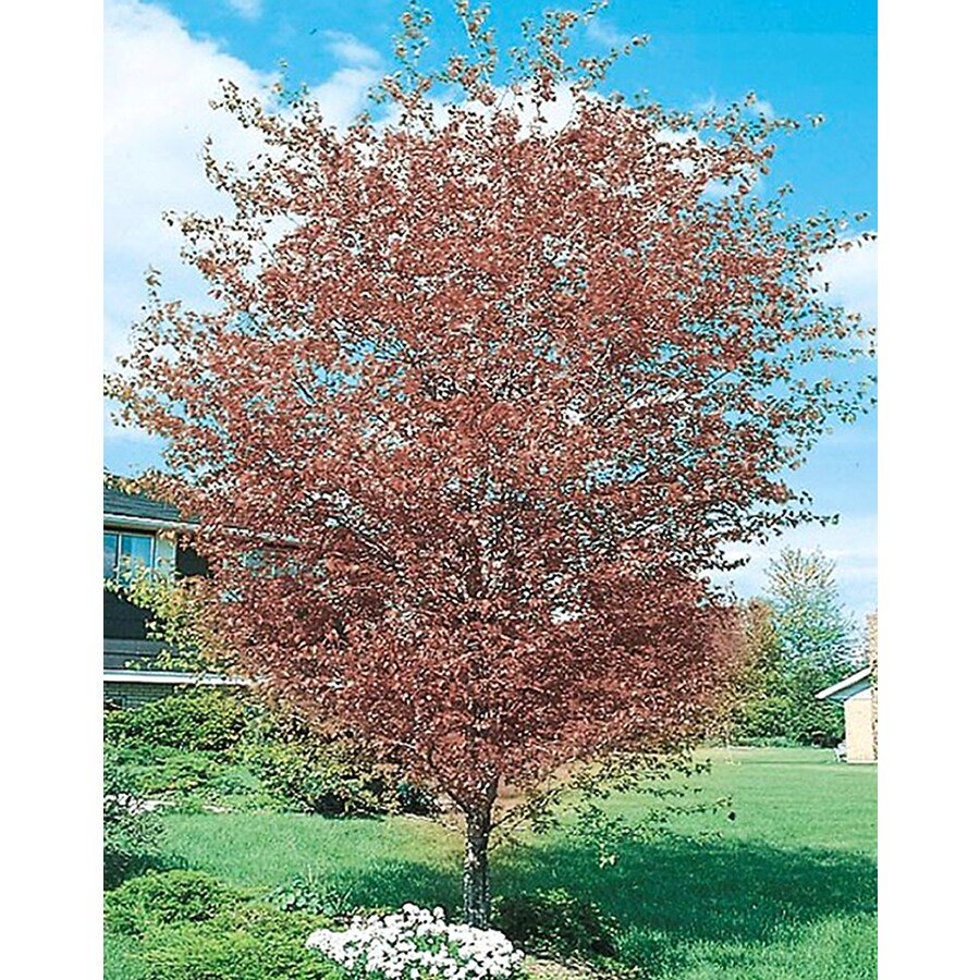 13-Gallon Washington Hawthorn Flowering Tree (L7331)
