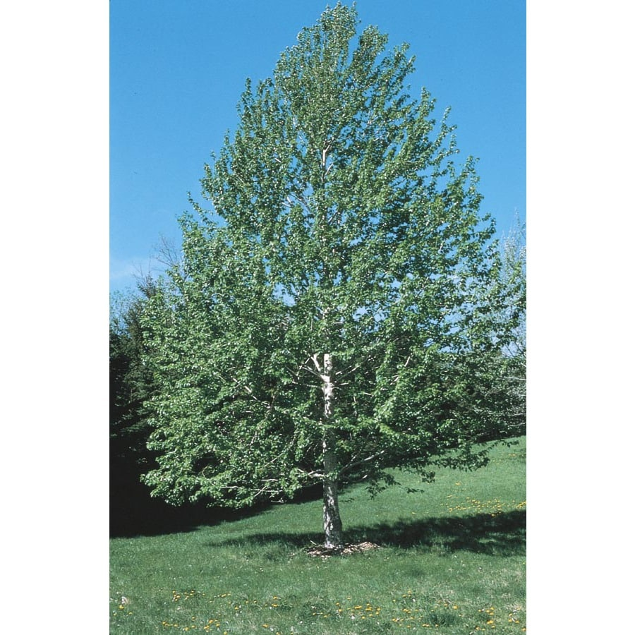 3.25-Gallon Lanceleaf Cottonwood Shade Tree (L11767)