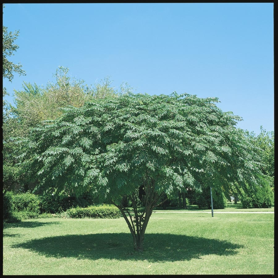 10.25-Gallon Texas Umbrella Tree Flowering Tree (L7407)