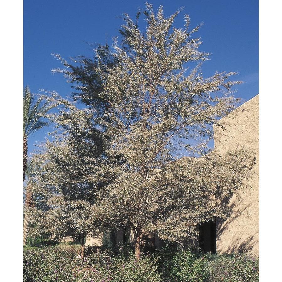 3.25-Gallon Mulga Feature Tree (L14866)