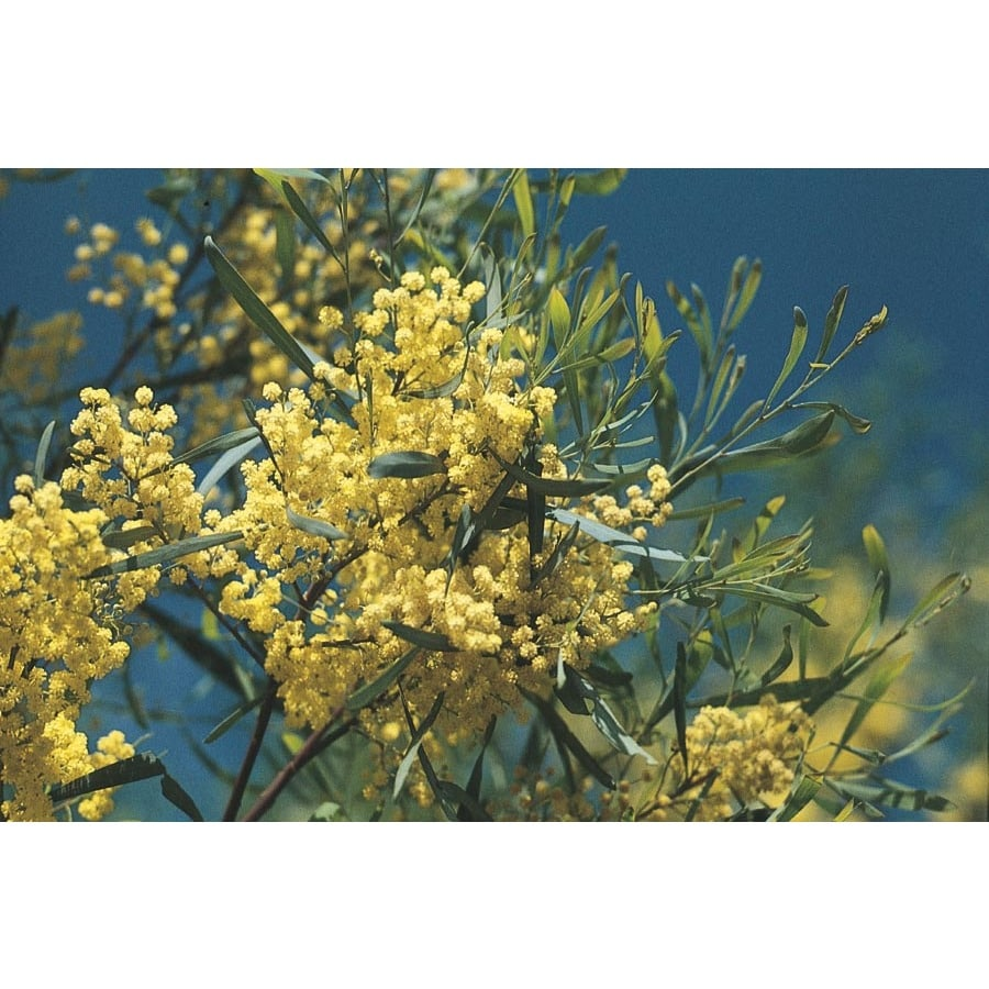 325 Gallon Yellow Acacia Feature Tree In Pot With Soil L9437 At