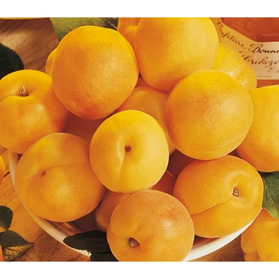 3.25-Gallon Gold Kist Apricot Tree (L20398)