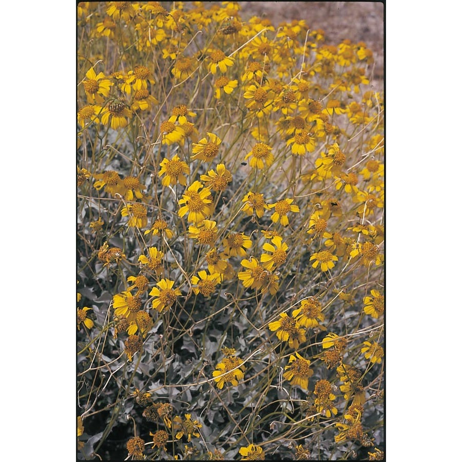 2.5-Quart Yellow Brittle Bush Accent Shrub (L11718)