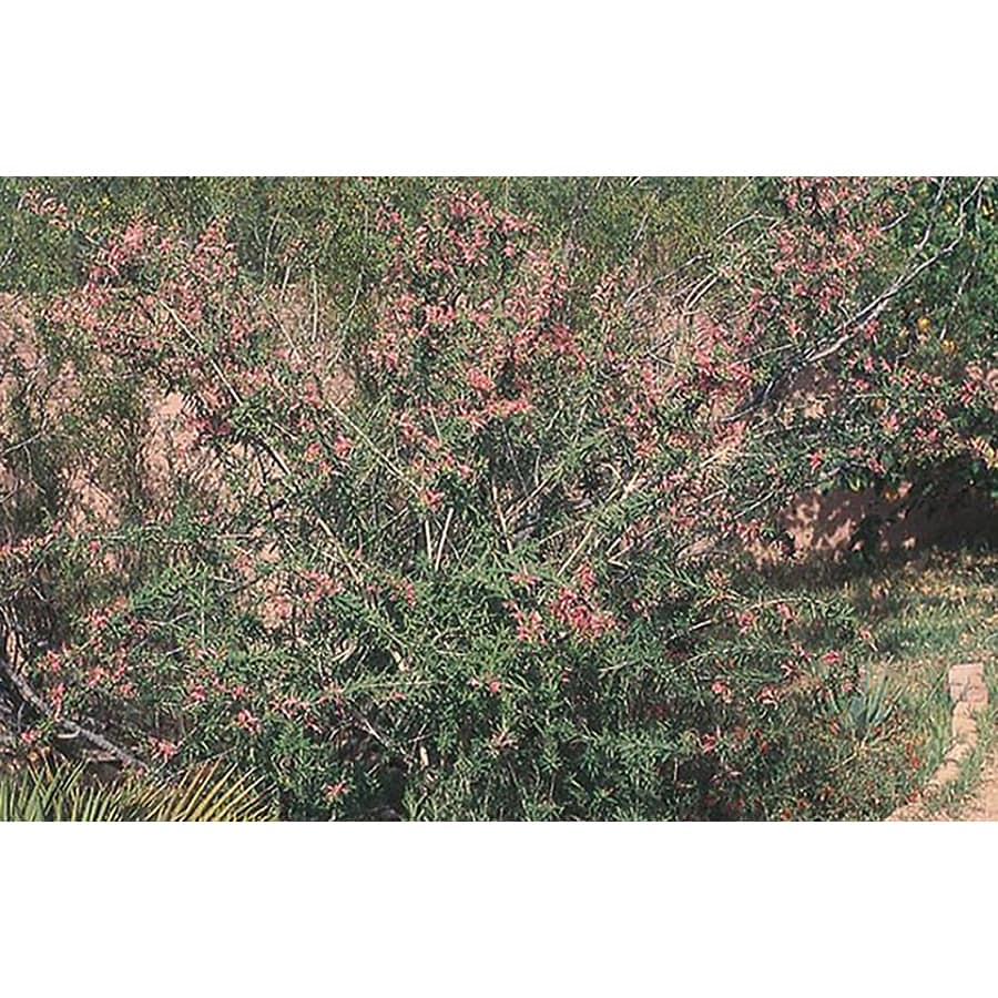 3.25-Gallon Red Common Emu Bush Accent Shrub (LW00075)