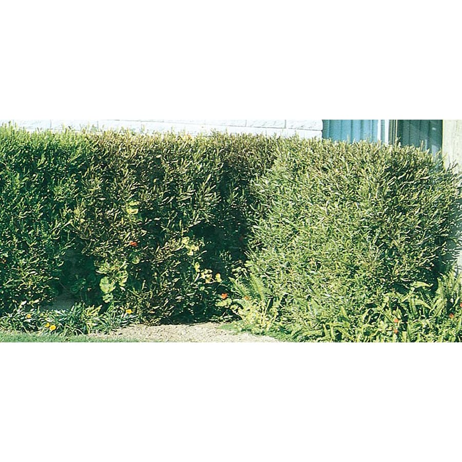 10.25-Gallon Hopseed Bush Screening Shrub (L14895)