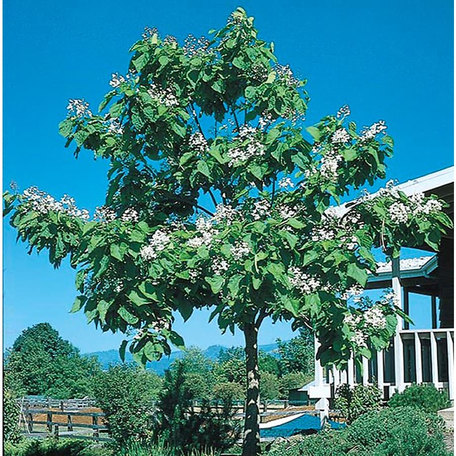 10.25-Gallon Western Catalpa Flowering Tree (L7405)