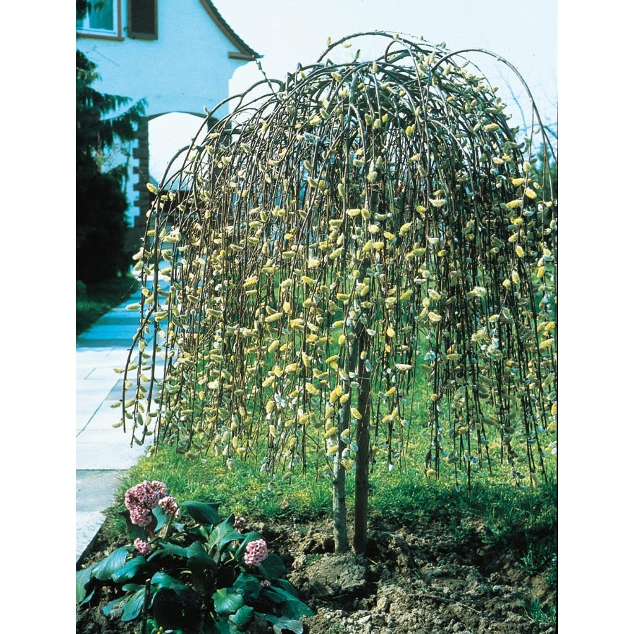 13-Gallon Yellow Weeping Pussy Willow Tree Feature Shrub (LW01654)