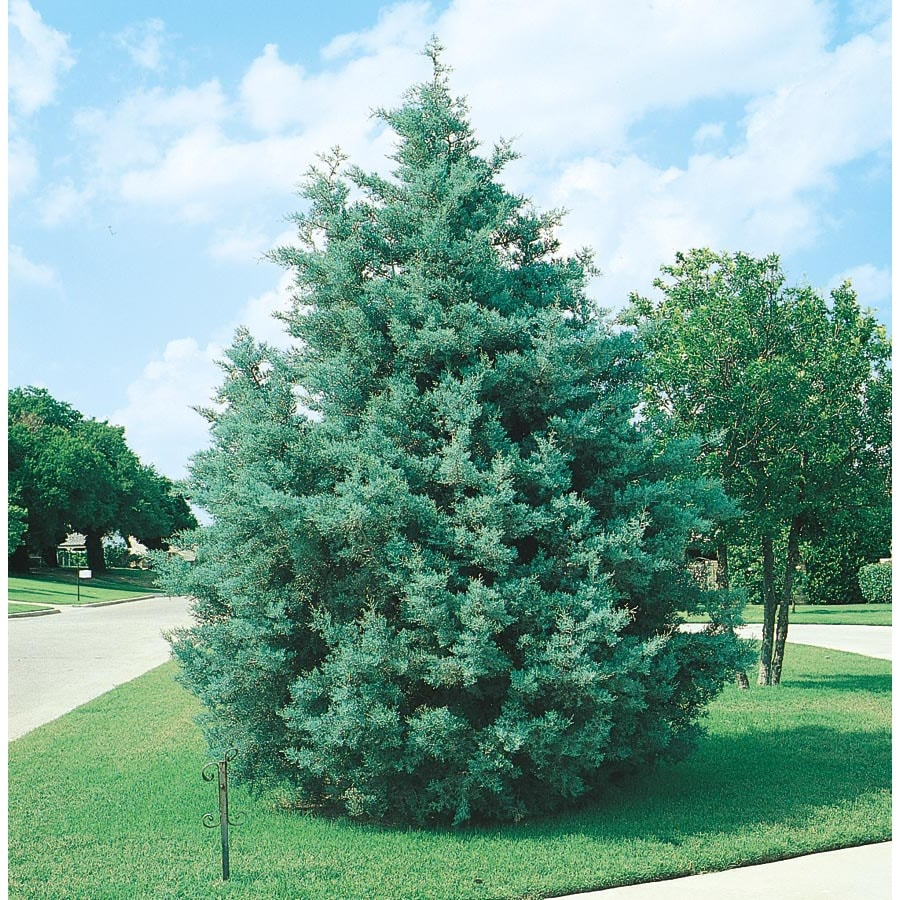 3.43-Gallon Arizona Cypress Screening Tree (L5089)
