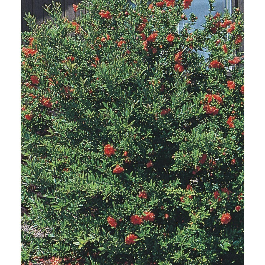 3.43-Gallon Red Dwarf Pomegranate Accent Shrub (L5944)