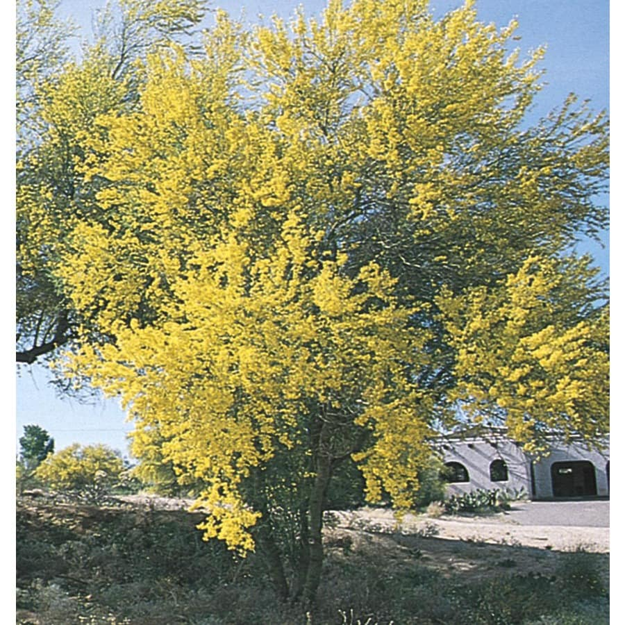 Shop 3 43 Gallon Blue Palo Verde Feature Tree L4007 At