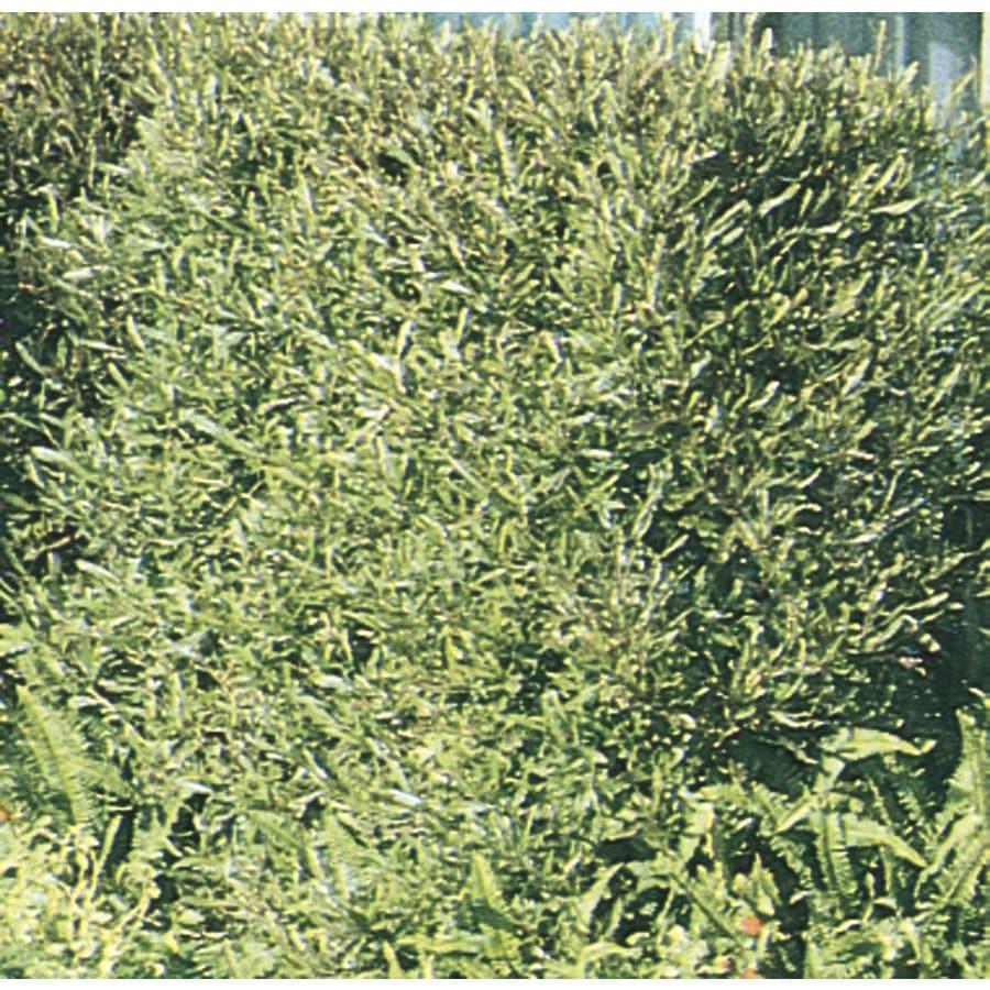 3.43-Gallon Hopseed Bush Screening Shrub (L14895)
