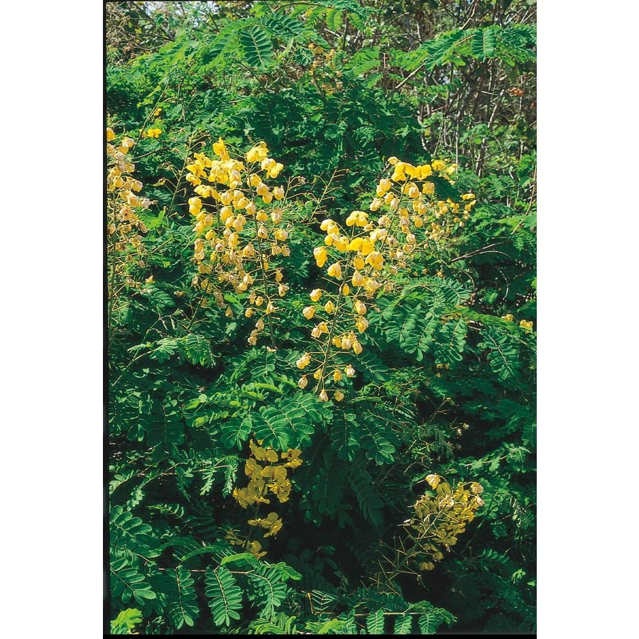 3.43-Gallon Yellow Mexican Bird of Paradise Flowering Shrub (L7485)