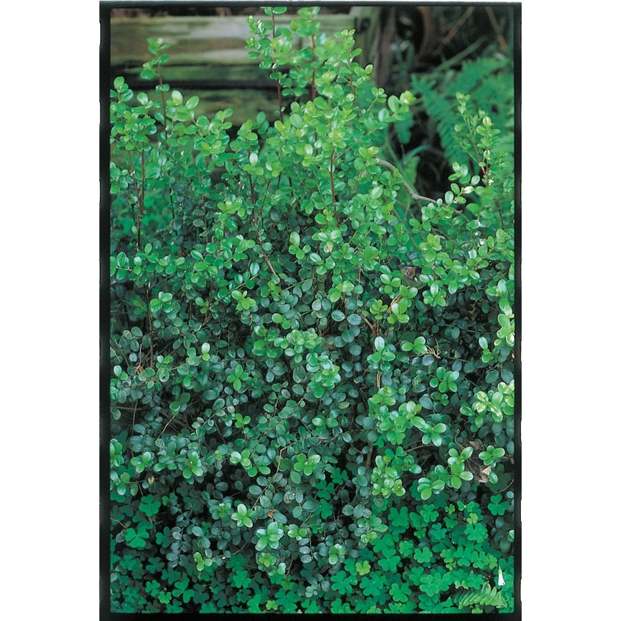 3.43-Gallon African Boxwood Foundation/Hedge Shrub (L11751)