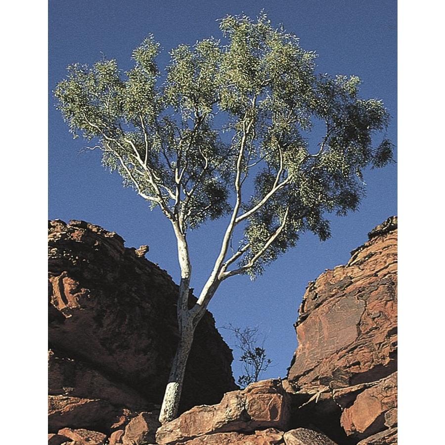 3.43-Gallon Ghost Gum Shade Tree (L14900)