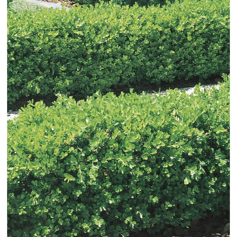 Japanese Boxwood Foundation/Hedge Shrub In Pot (With Soil