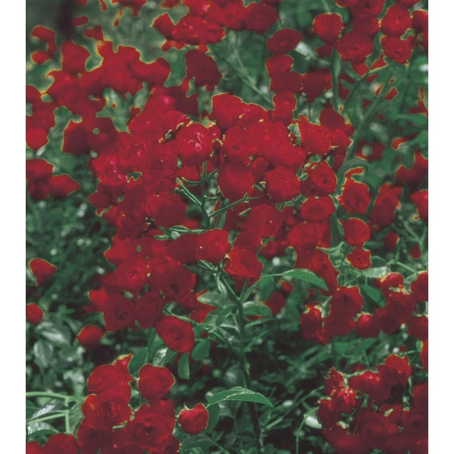 3.43-Gallon Red Lady Banks Rose (LW03784)