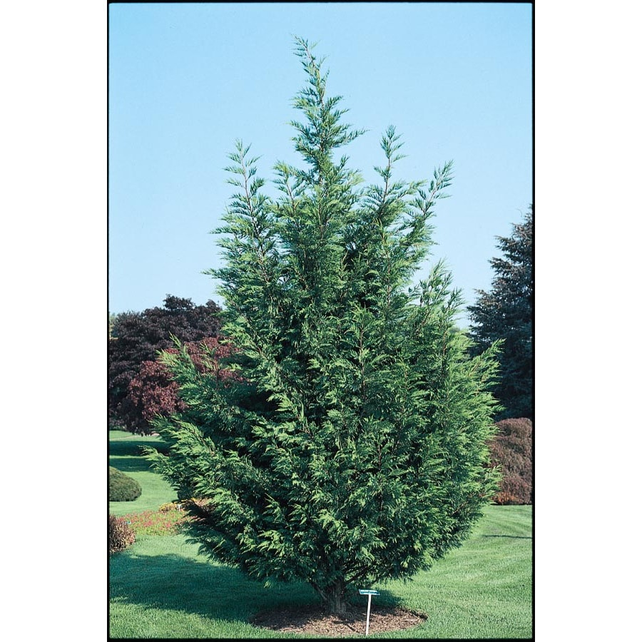 3.43-Gallon Leyland Cypress Screening Tree (L3153)