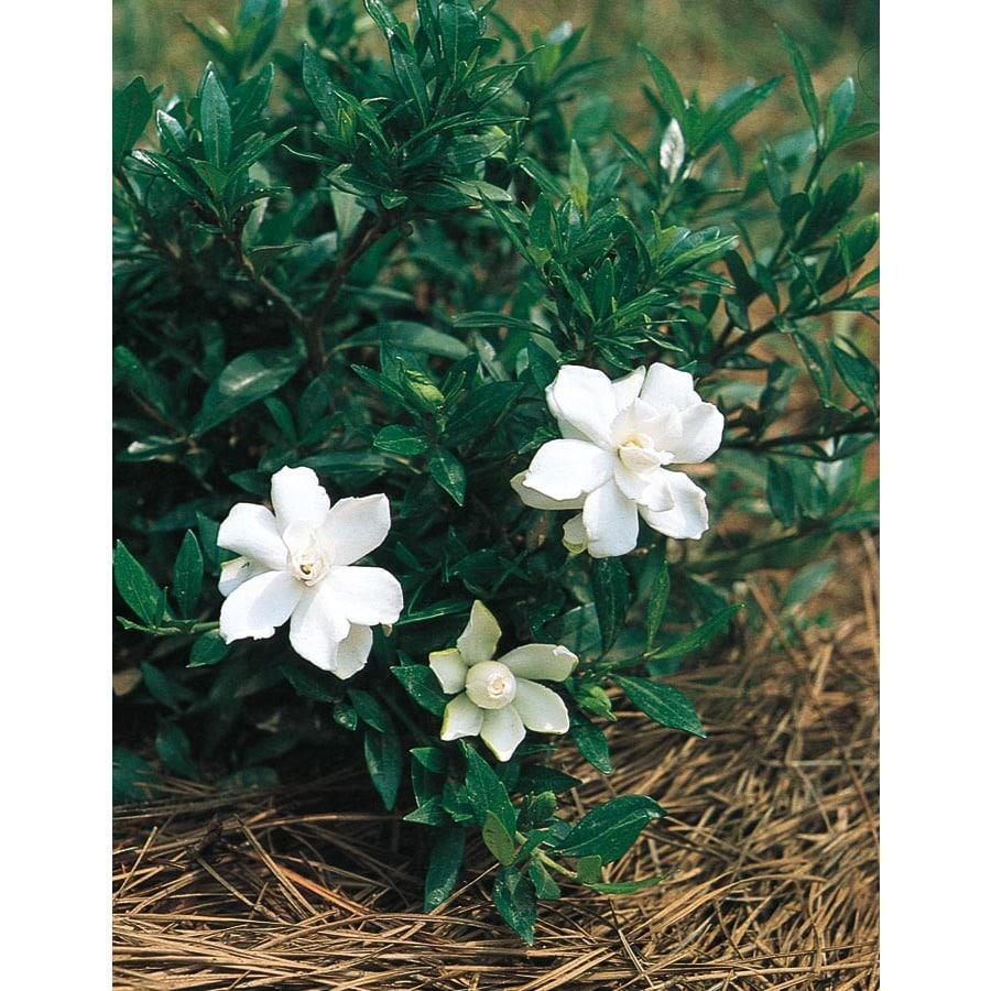 2.92-Quart White Radicans Dwarf Gardenia Flowering Shrub (L5279)