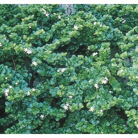 White Fancy Natal Plum Foundation/Hedge Shrub in Pot (With
