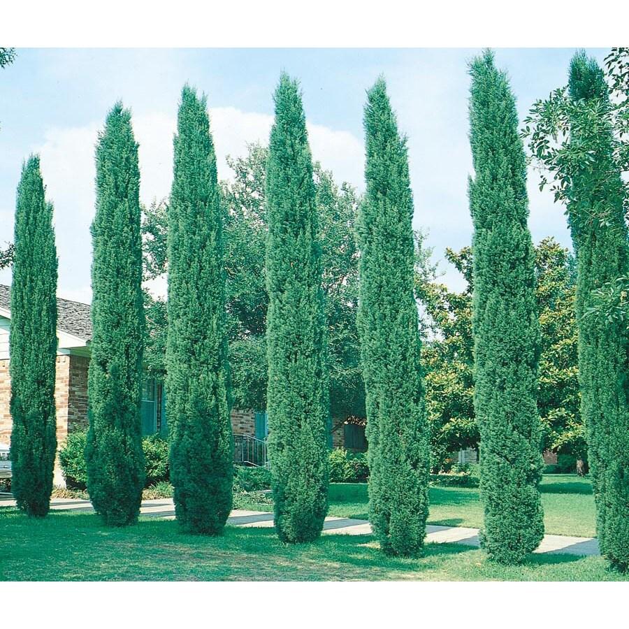 2.92-Quart Italian Cypress Feature Tree (L3291)