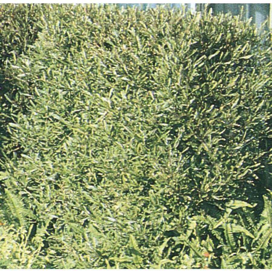 2.92-Quart Hopseed Bush Screening Shrub (L14895)