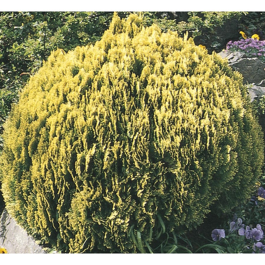 2.92-Quart Golden Globe Arborvitae Accent Shrub (L3952)
