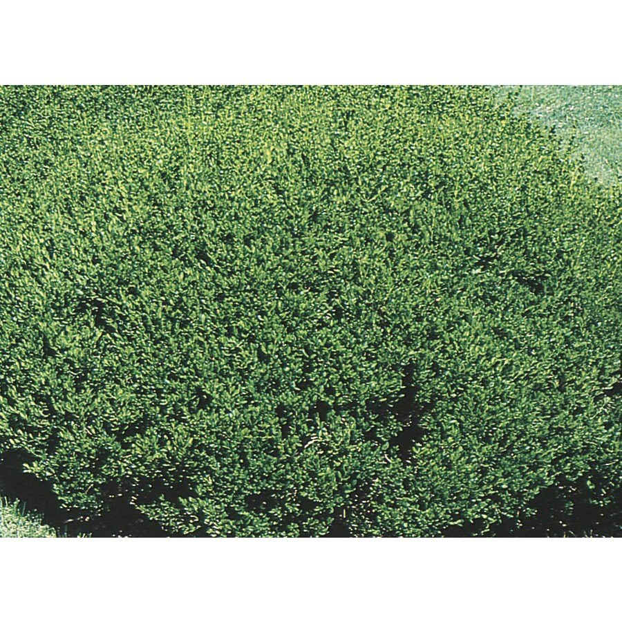 3.43-Gallon Green Beauty Boxwood Foundation/Hedge Shrub (L3841)
