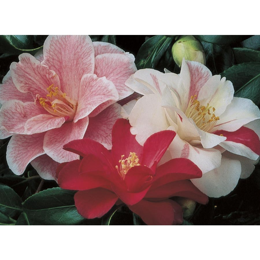 3.43-Gallon Mixed Camellia Flowering Shrub (L3455)