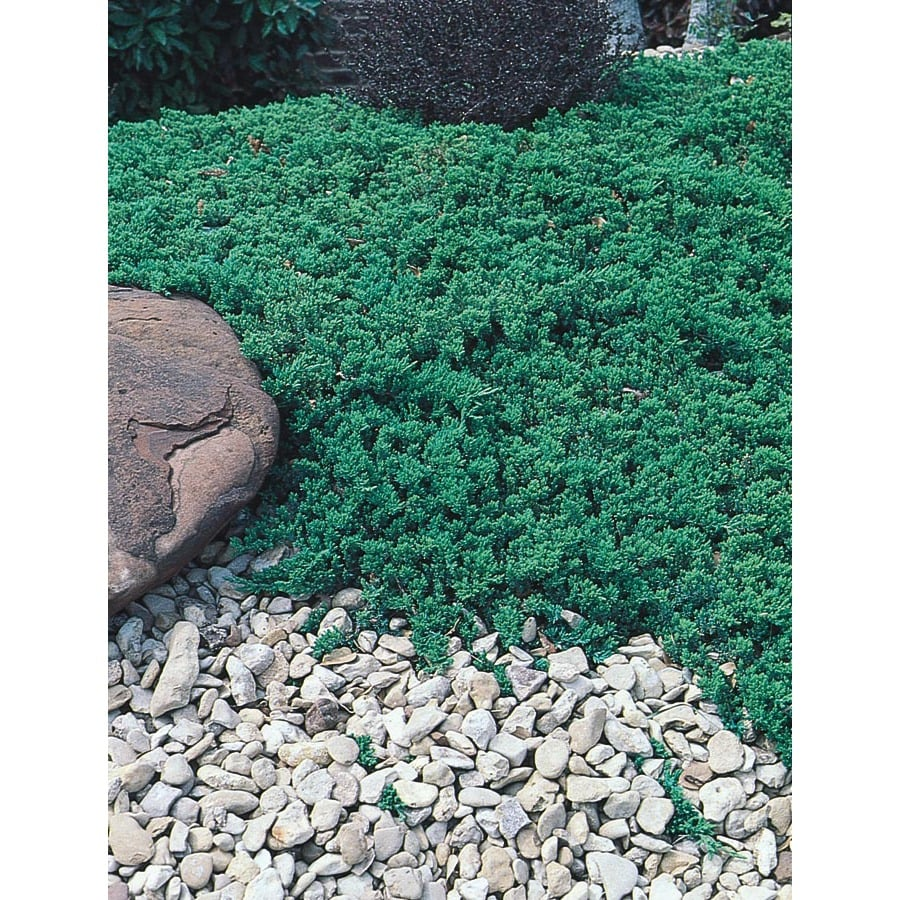 3.43-Gallon Greenmound Juniper Accent Shrub (L9290)