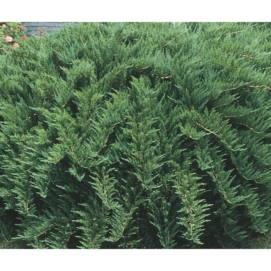 3.43-Gallon Tam Juniper Accent Shrub (L3042)