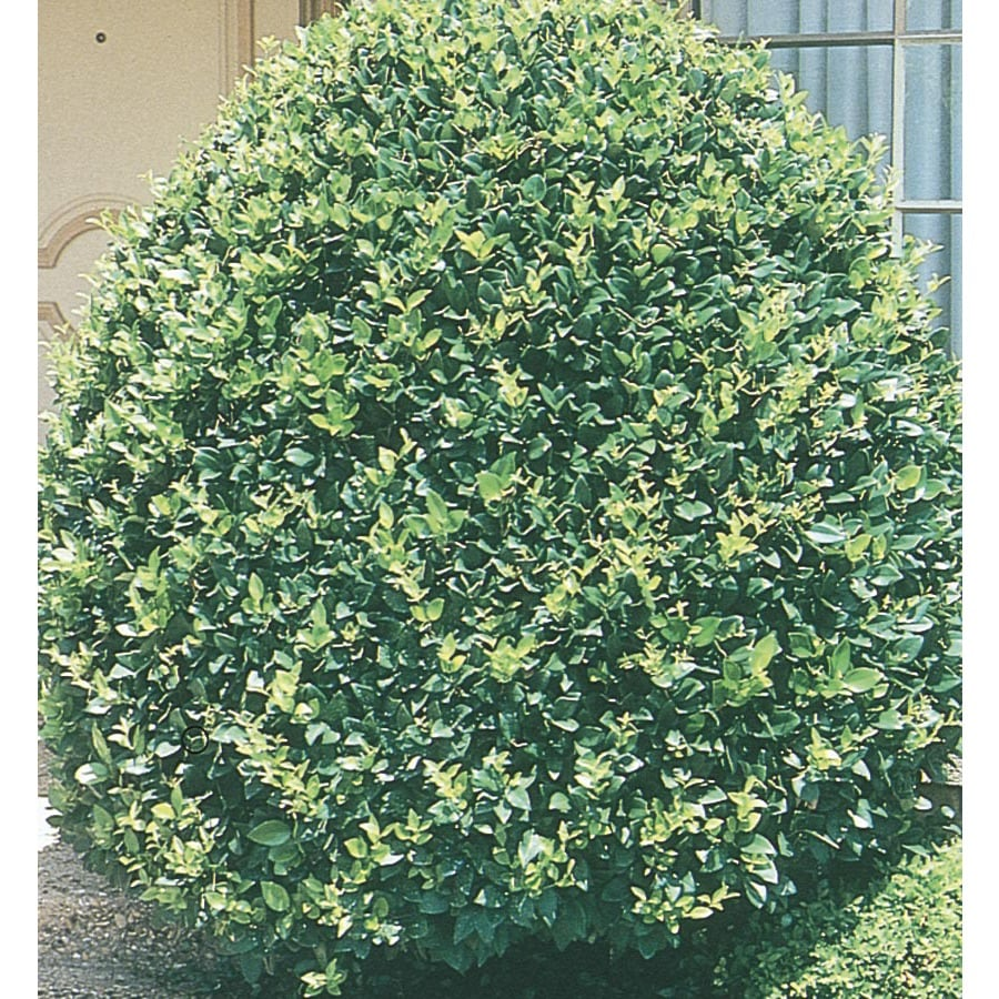 15-Gallon White Pyramid Waxleaf Ligustrum Feature Shrub (L7160)