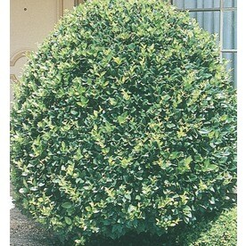 15 Gallon White Pyramid Waxleaf Ligustrum Feature Shrub L7160
