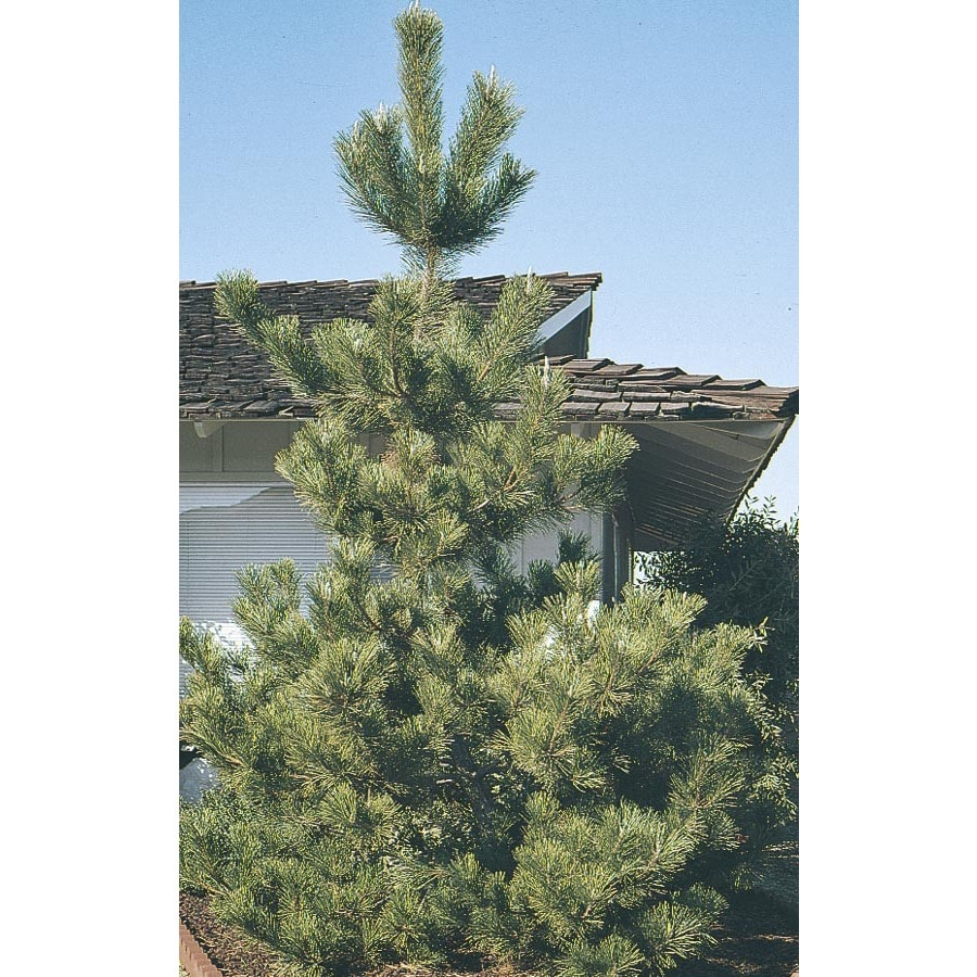 3.43-Gallon Japanese Black Pine Feature Tree (L1060)