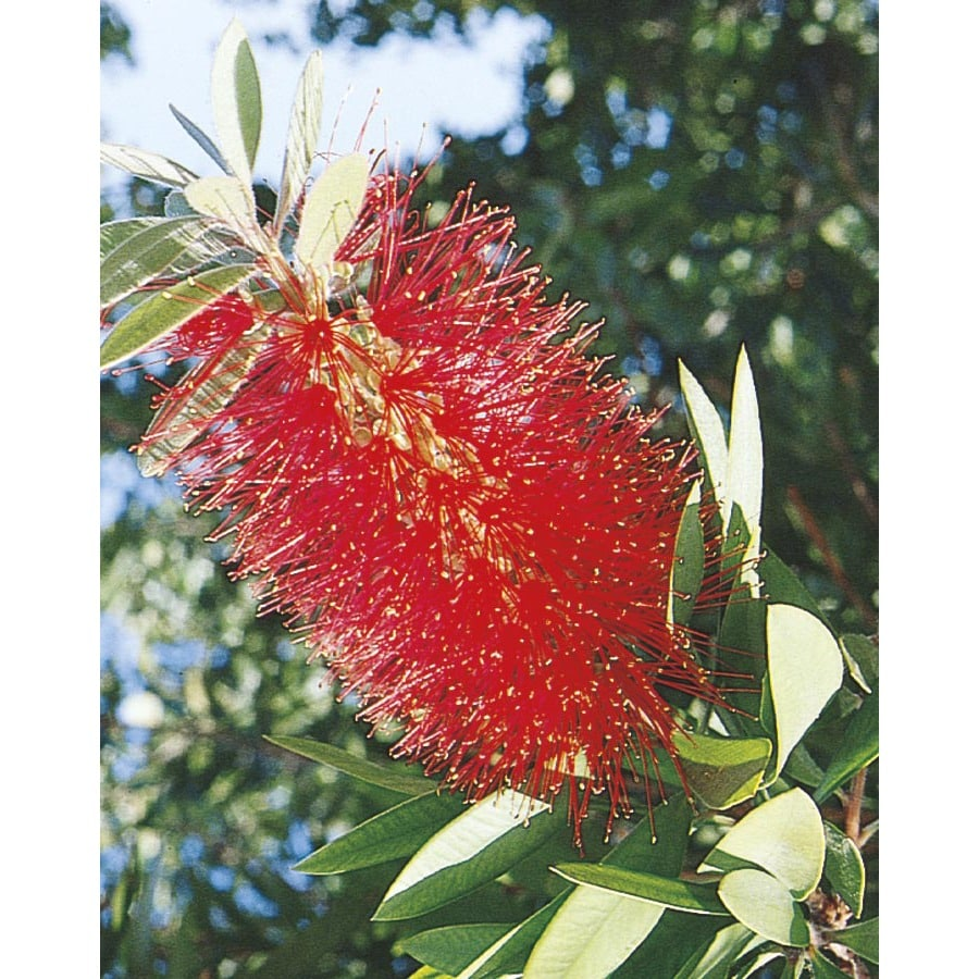 2.92-Quart Red Bottlebrush Accent Shrub (L3148)