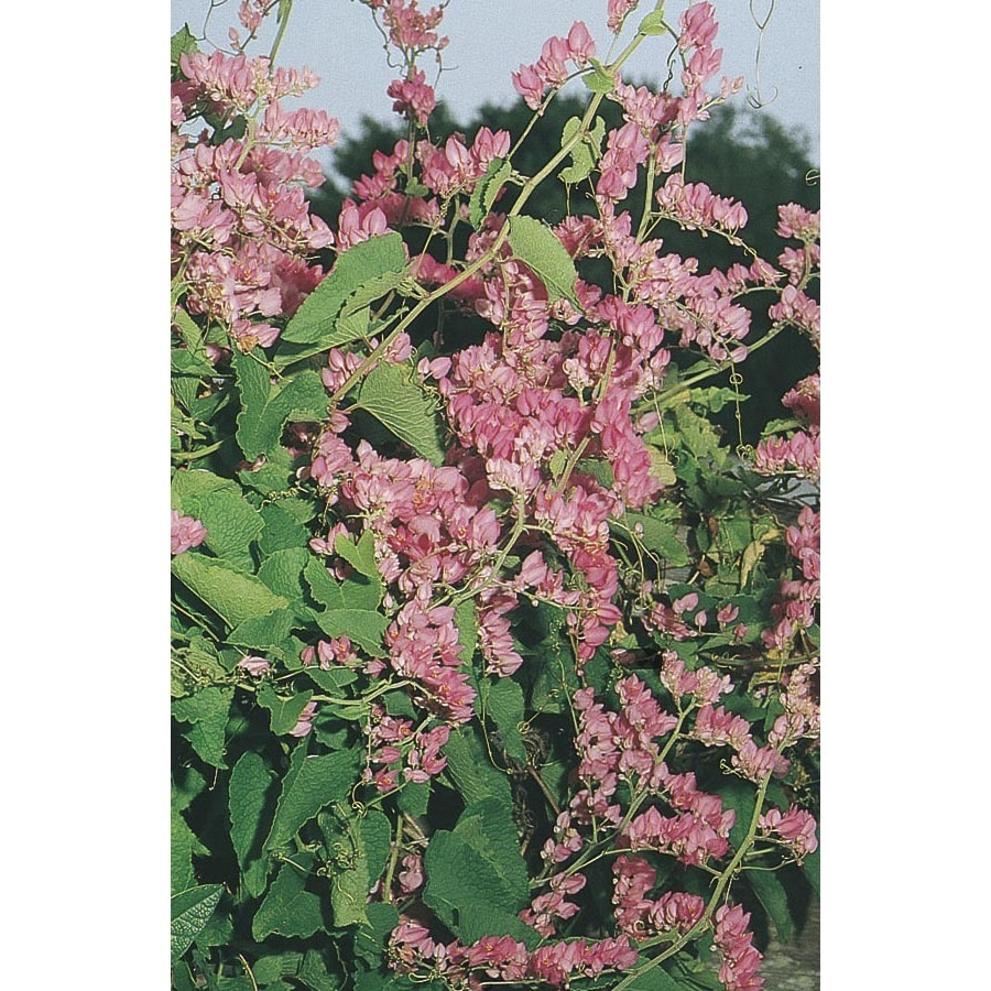 3.43-Gallon Coral Vine (L10711)