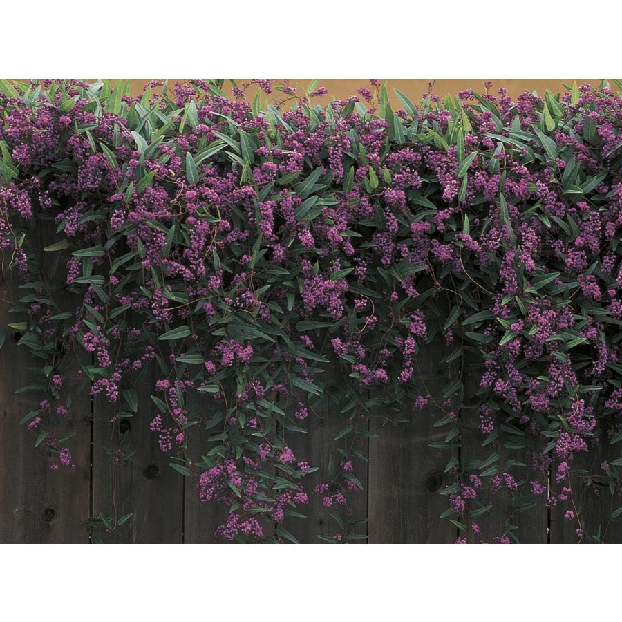 Happy Wanderer Vine Lilac L6317 At Lowes Com